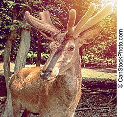 味方, 鹿, ∥で∥, いぶかるような圧搾, 上に, 彼の, 顔, fluffy-horned, 鹿, 肖像画