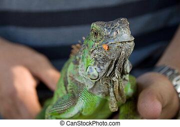 味方, iguana