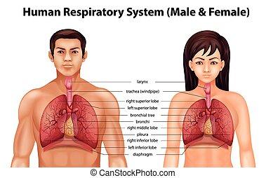 呼吸システム, 人間