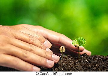 咖啡, 秧苗, 在, 自然, 植物, a, 樹, 概念, 手