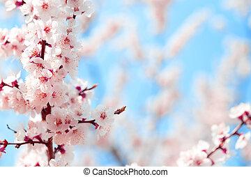 咲く, さくらんぼ, に対して, スカイブルー, sakura