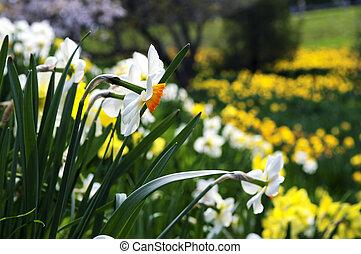 咲く, ラッパズイセン, 中に, 春, 公園