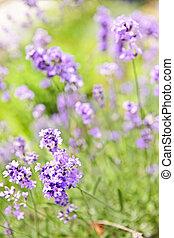 咲く, ラベンダー, 庭