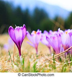 咲く, 春の花, クロッカス, すみれ