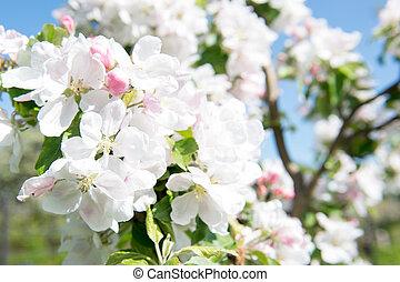 咲く, 木, 細部, アップル