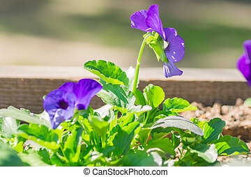 咲く, 青, 花壇, flowers., パンジー