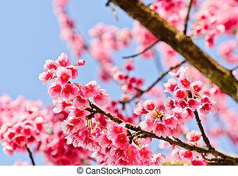 咲く, himalayan, さくらんぼ