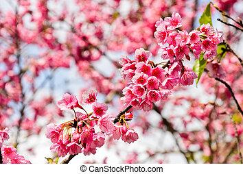 咲く, himalayan, さくらんぼ, 野生