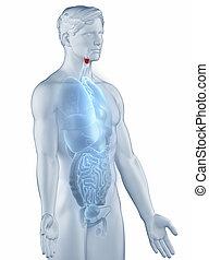 喉頭, ポジション, 解剖学, 人, 隔離された, 横の視野
