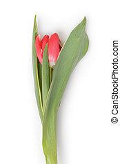 單個, 新鮮, 紅色的郁金香