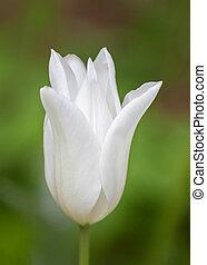 單個, 白色的郁金香