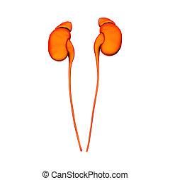 器官, 隔離しなさい, 内部, -, 腎臓