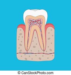 図, 医学, 平ら, 健康, ポスター, セクション, 交差点, イラスト, 歯, 解剖学, gum., 歯医者の,...