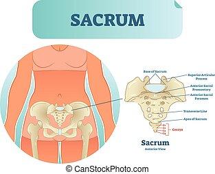 図, sections., イラスト, 解剖, ラベルをはられた, ベクトル, 構造, 人間, sacrum, 案, 骨