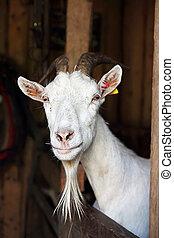 国内, goat