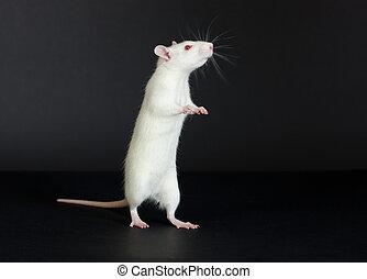 國內, 白色的老鼠