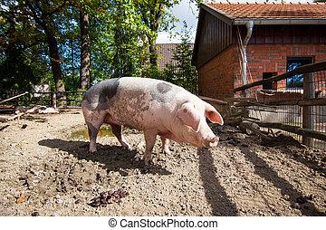 國內, pig., 大, pig., 豬, 上, a, 農場