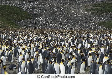 國王企鵝, 殖民地, 在, 南方佐治亞