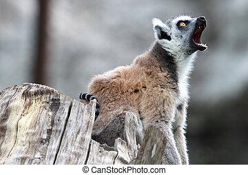 圓環被盯梢的 狐猴, catta, 打呵欠