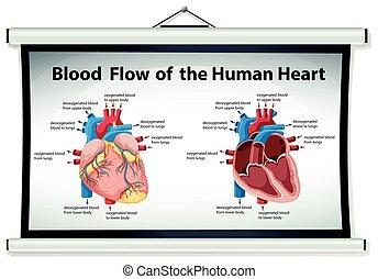 圖形, 顯示, 血液, 流動, 在, 人的 心臟