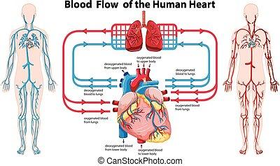 圖形, 顯示, 血液, 流動, ......的, the, 人的 心臟