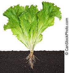 土壌, 実生植物, レタス