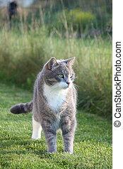 地位, かわいい, グレーの猫, 成人, 草