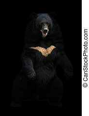 地位, アジア, 暗い, 熊, 黒