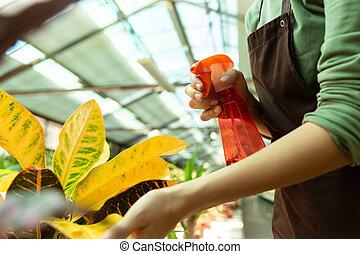 地位, 植物, 20s, 女, 温室, 助手, イメージ, 水まき, スプレーヤー, 花, 上に
