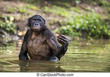 地位, 落ちた, (, congo., )., paniscus, 水, フルーツ, 共和国, 顔つき, water., 民主的, パン, bonobo
