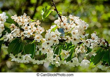 地域, 北, veneto, 春, さくらんぼ, 咲く, 木, イタリア