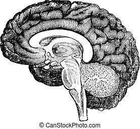 垂直, 部分, ......的, 側視圖, ......的, a, 人類腦子, 葡萄酒, engraving.