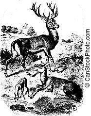 型, トナカイ, deers, engraving.