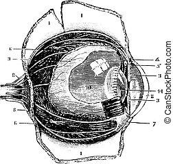 型, 切断, antero-posterior, engraving., 目