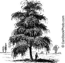 型, 木, betula, シラカバ, ∥あるいは∥, engraving.