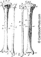 型, 足, スケルトン, engraving.