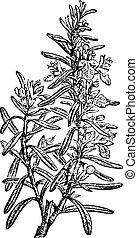 型, rosmarinus officinalis, ローズマリー, ∥あるいは∥, engraving.