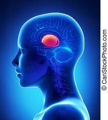 基底の ganglia, -, 女性, 脳, 解剖学, 横の視野