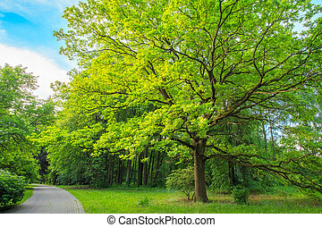 夏天, 橡木, 公園, 樹, 高