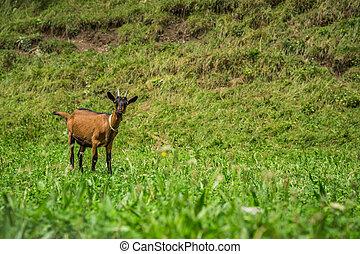 夏天, 綠色, 草地,  goat