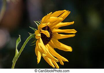 夏, ひまわり, 終わり, 美しい, の上, 時間, 庭