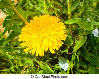 夏, タンポポ, 黄色, grass., 緑の風景