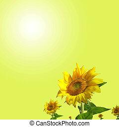 夏, 上に, フィールド, ひまわり, 太陽