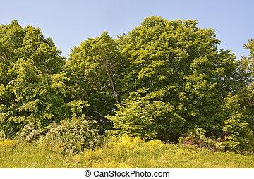 夏, 別, 田舎, 木, scene-, 森林