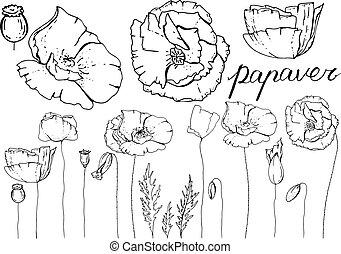夏, 別, 花, 季節, 隔離された, 装飾, 要素, white., 花, ケシ