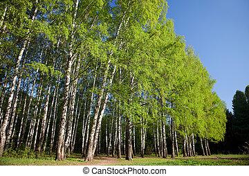 夏, 森林, 木, シラカバ