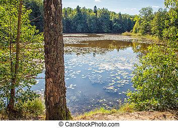 夏, 湖, 日, 森林