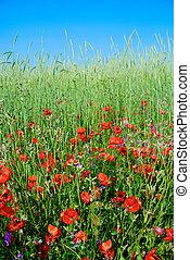 夏, 花, 牧草地, ケシ