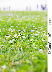 夏, 花, 牧草地, デイジー