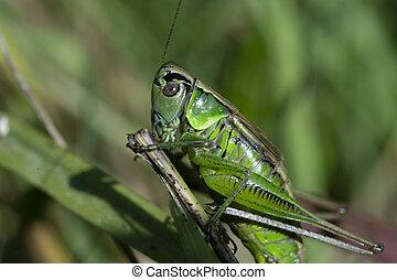 夏, grasshopper., 牧草地, マクロ, 昆虫, 緑, 写真